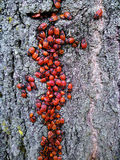 Red beetles on a tree. Pyrrhocoris apterus. This is a huge number of beetles fire or soldiers, or krasnoklopov ordinary (Pyrrhocoris apterus). Insect lives in stock image
