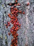 Red beetles on a tree. Pyrrhocoris apterus Stock Image