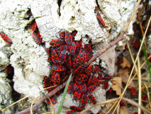 Red beetles Stock Photo