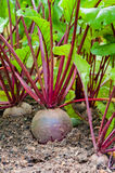 Red beetroof in the garden -2 Stock Photos