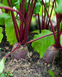 RED BEETROOT IN THE GARDEN -1 Stock Photos