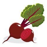 Red beetroot with leaves whole and cut  on white background. Hand drawn vector illustration. Red beetroot. With leaves whole and cut beet  on white background Stock Images