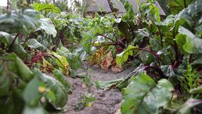 Red beetroot scrap recorded from ground level stock video