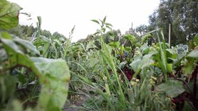 Red beetroot scrap recorded from ground level stock video footage