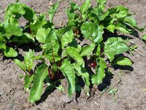 Red beets 2 Stock Image