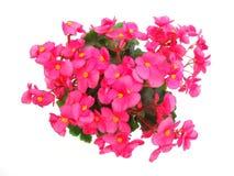 Red begonia stock photo
