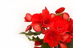 Red begonia background. Red begonia isolated, with white background Royalty Free Stock Images