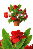 Red begonia Stock Photos