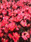 Red begonia flats. A lot of red begonia flowers being grown in flats Stock Photo