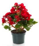 Red Begonia flower. Begonia isolated flowers in pots Stock Photo