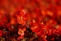 Red Begonia Flower Background Stock Image