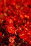 Red Begonia Flower Background Stock Images