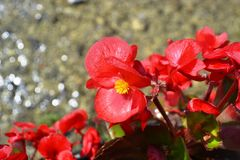 Red begonia flower blooming brightly illuminated. Close-up view to heads of red begonia flower blooming brightly illuminated under the sun with water blur stock photo