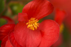 Red Begonia Flower closeup Royalty Free Stock Photo