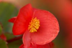 Red Begonia Flower closeup Stock Image