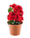 Red begonia in the flowerpot. Red blossoming begonia in the brown flowerpot isolated on white background royalty free stock photo