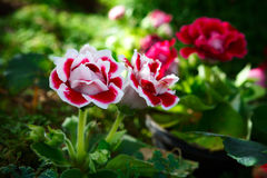 Red begonia flowers Royalty Free Stock Image