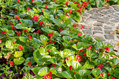 Red begonia flowers blossom Stock Photo