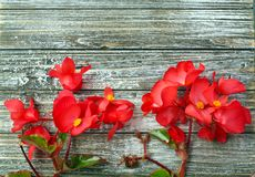 Red Begonia flowers at the bottom of wood stock photography