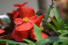 Red Begonia flowers with daylight nice morning royalty free stock photography