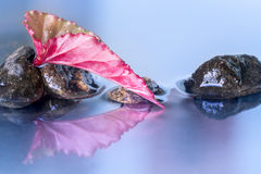 Red begonia lucernae leaf reflection Royalty Free Stock Image