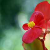 Red Begonia Macro Stock Photography