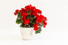 Red begonia in a pot. On a white background stock photo