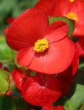 Red Begonia semperflorens royalty free stock image