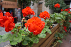 Red Begonia on the terrace Royalty Free Stock Photography