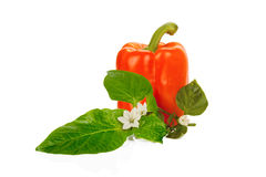 Red bell pepper with green leaves and flower isolated Stock Image