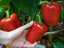 Red bell pepper with hand Royalty Free Stock Photography