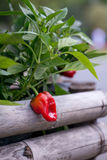 Red bell pepper on a stem Royalty Free Stock Images