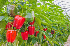 Red bell peppers in a greenhouse Stock Photo