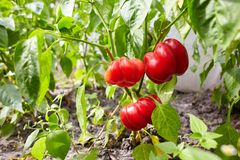 Red bell peppers growing and blossoming in the garden. royalty free stock images