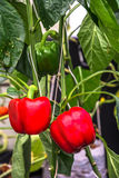 Red bell peppers. Stock Image
