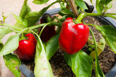 Red bell peppers tree. Red bell peppers hanging on tree Royalty Free Stock Image