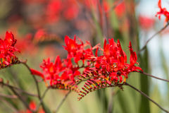 Red, bell shaped flowers Stock Images