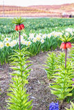 Red bell tall flower. Red bell tall exotic flower in a tulip field at sunset in Bardar village, Moldova Royalty Free Stock Photo