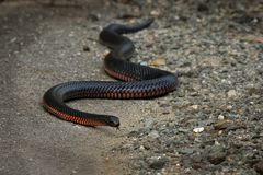 Red-bellied Black Snake - Pseudechis porphyriacus species of elapid snake native to eastern Australia royalty free stock images