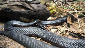 Red bellied black snakes. Two red bellied black snakes on display in a wildlife park. These venomous spotted black snakes occur in open forest, grassland and royalty free stock photos