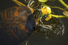 Red-bellied turtle in Florida`s Everglades National Park. Red-bellied turtle, Pseudemys nelsoni, eating a yellow water lily in the Florida Everglades stock photography