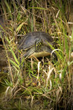 Red-bellied turtle in Florida`s Everglades National Park. royalty free stock photo