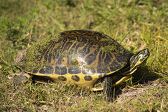 Red-bellied turtle at Magnolia Park in Apopka, Florida. Red-bellied turtle, Pseudemys nelsoni, covered with duckweed as it walks in the grass on the shore of stock photo