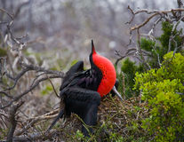 Red-bellied frigate is sitting on a nest. The Galapagos Islands. Birds. Ecuador. royalty free stock image