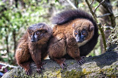 Red bellied lemur Royalty Free Stock Photos