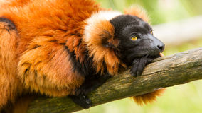 Red-bellied Lemur (Eulemur rubriventer) Royalty Free Stock Images