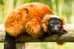 Red-bellied Lemur (Eulemur rubriventer) Stock Photo