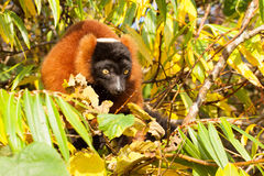 Red-bellied Lemur (Eulemur rubriventer) Royalty Free Stock Photography