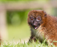 Red-bellied Lemur (Eulemur rubriventer) Stock Photos