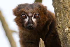 Red-bellied lemur & x28;Eulemur rubriventer& x29;. Male arboreal primate in the Lemuridae family, native to rainforest in Madagascar Stock Image